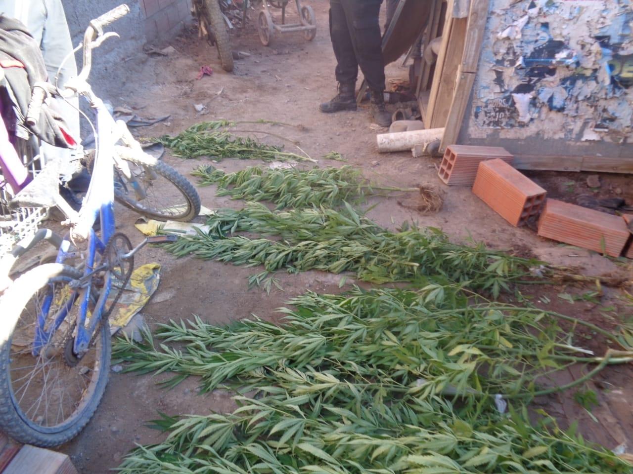 plantas-de-marihuana