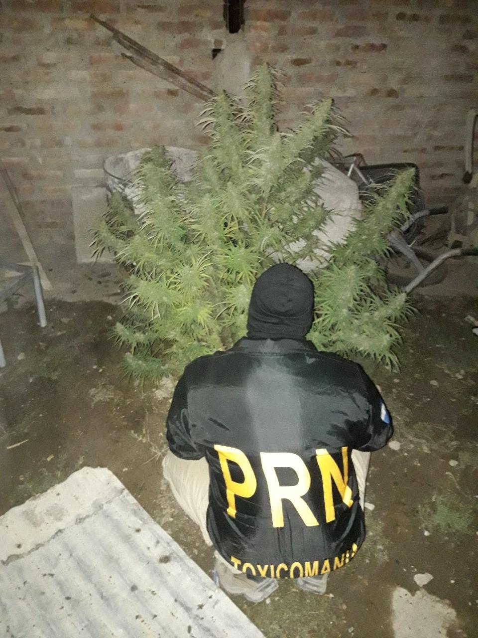 planta-de-marihuana